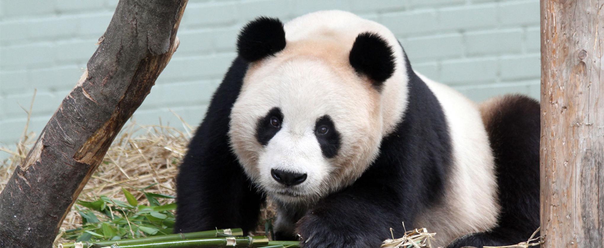 Giant Pandas, Doorbells & Dystopian Futures